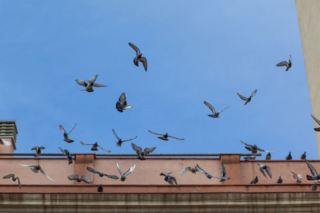 Pigeon Control, Pest Control in Canning Town, North Woolwich, E16. Call Now 020 8166 9746